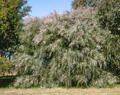 Acacia Iteaphylla Flinders Range Wattle Westgrow Farm Trees