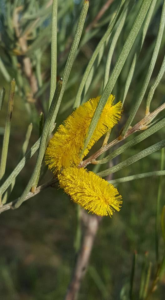 Acacia Aneura Mulga Westgrow Farm Trees