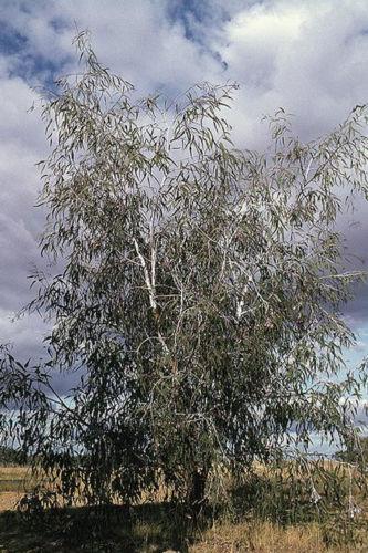 Eucalyptus Caesia Silver Princess Westgrow Farm Trees