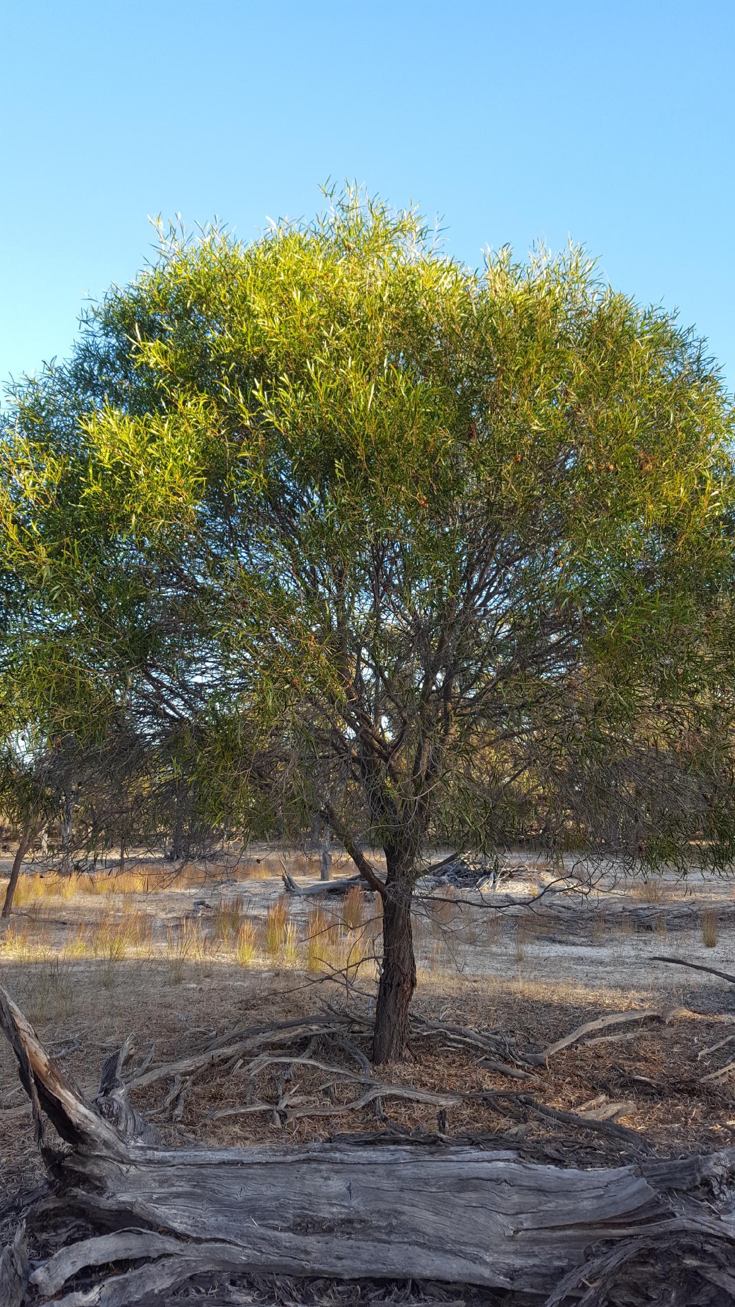 Acacia Acuminata Jam Wattle Jam Tree Westgrow Farm Trees